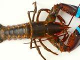 Keeping a Healthy Lobster Fishery Afloat in the Gulf of Maine