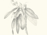 Botanical Drawing, Refined Graphite Rendering