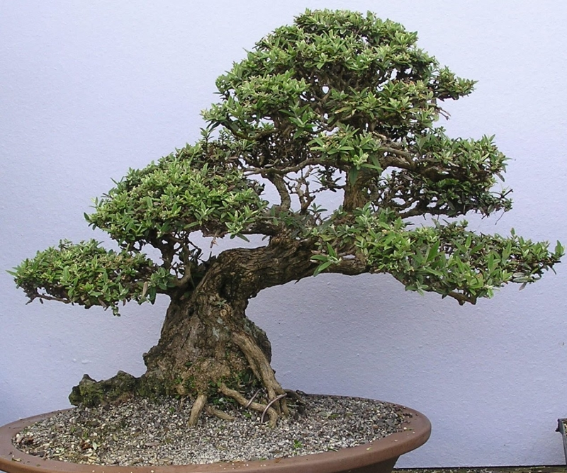 Original source: https://sites.google.com/site/fernvalleybonsai/P1050045.JPG