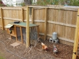 Backyard Chicken Ranching