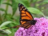 Grow More Butterflies