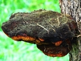 Online: June 16 Chaga Facts
