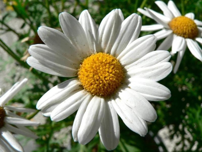Original source: https://upload.wikimedia.org/wikipedia/commons/e/e5/Dill_daisy_white.jpg