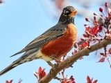 Start with the Arts—All About Spring: The Robin