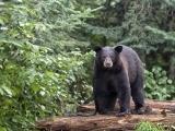 Drawing Night: Maine Black Bear