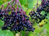 All About Elderberry: Live Online