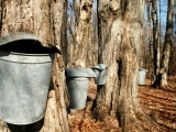 Tapping in Sweetness. The Ins and Outs of Backyard Maple Sugaring