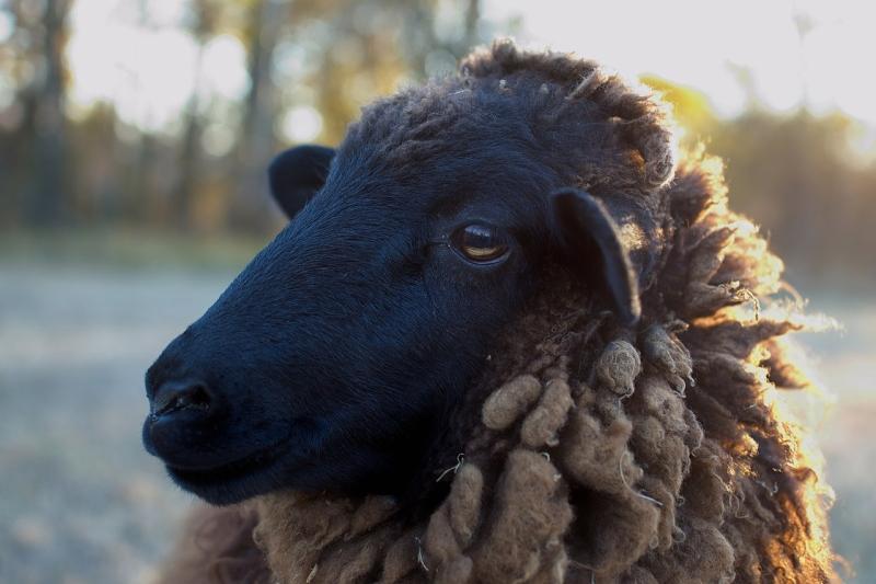 Original source: https://upload.wikimedia.org/wikipedia/commons/thumb/3/3e/Black_Sheep_Closeup.jpg/1280px-Black_Sheep_Closeup.jpg