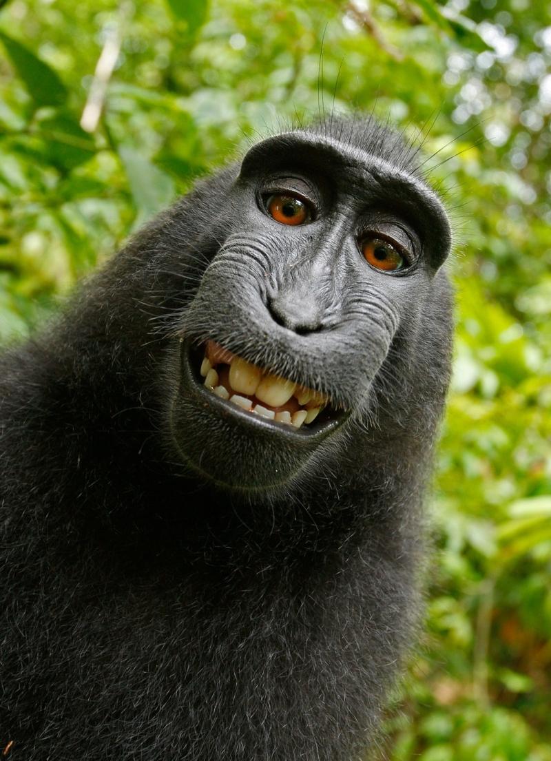Original source: https://images.pexels.com/photos/50582/selfie-monkey-self-portrait-macaca-nigra-50582.jpeg?cs=srgb&dl=black-chimpanzee-smiling-50582.jpg&fm=jpg