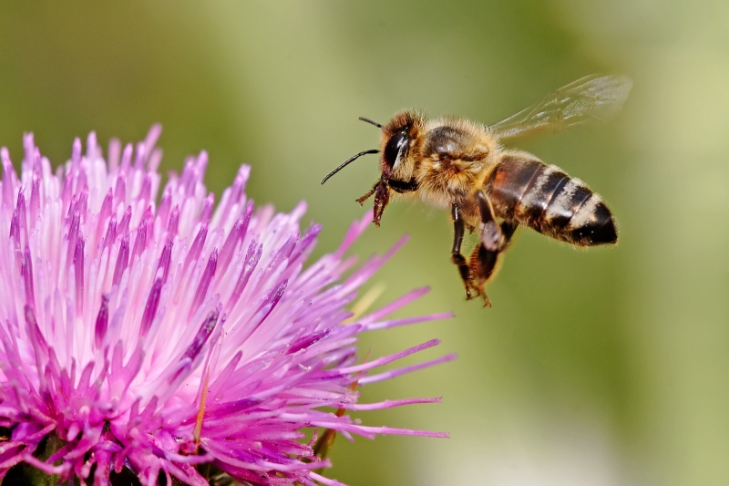 Original source: https://upload.wikimedia.org/wikipedia/commons/e/e0/Honeybee_landing_on_milkthistle02.jpg
