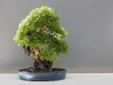 Art of Bonsai: Inspirations For Garden Design  - Litchfield