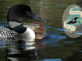 35th Maine Loon Count