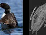 What's a One Health Approach to Common Loon Conservation?