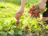 Original source: http://theorganicmomma.com/wp-content/uploads/2012/05/Gardening-Picking-Radishes.jpg