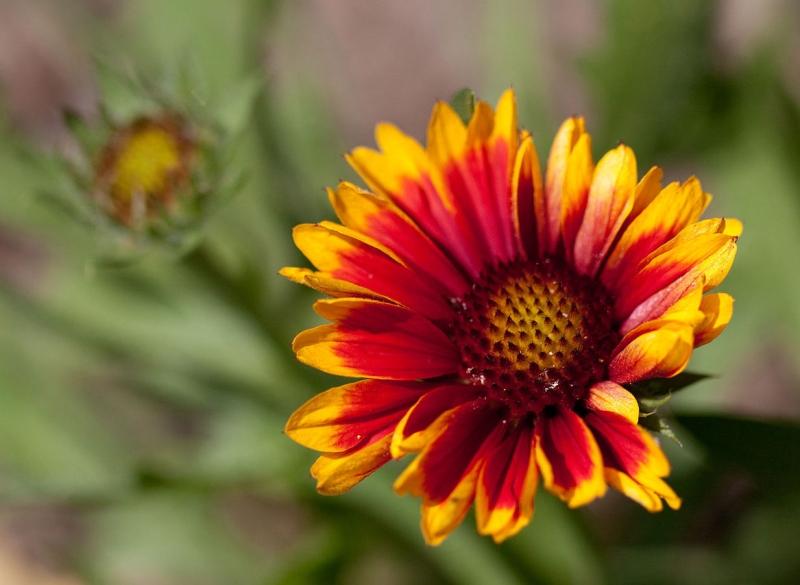 Original source: https://upload.wikimedia.org/wikipedia/commons/e/ea/Flower%2C_Common_Perenial_Gaillardia_-Arizona_Sun-_Flipped_-_nekonomania.jpg