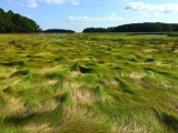 A Walk Through Maine's Salt Marshes: Their Ecology and Conservation