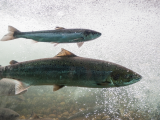The History (and future!) of Atlantic Salmon in the Penobscot River