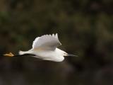 Snowy Egret Day