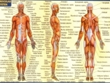 Original source: http://www.anatomy-diagram.info/wp-content/uploads/2016/08/muscle-anatomy-and-physiology-anatomy-physiology-muscles-anatomy-of-human-body-and-animals.jpg