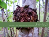 Session II Chaga Facts