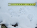 Tracking Animals in the Snow