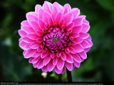 Dahlias - From Cultivation to Winter Storage