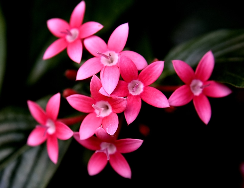 Original source: https://upload.wikimedia.org/wikipedia/commons/3/38/Pentas_flowers.jpg