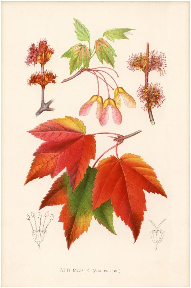 Original source: http://thegraphicsfairy.com/wp-content/uploads/2013/10/Vintage-Printable-Maple-Leaves-GraphicsFairy-sm.jpg