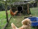 Backyard Poultry Care