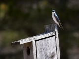 Speaker Series: Tree Swallows with Bernd Heinrich