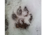 Tracking Mammals in the Snow