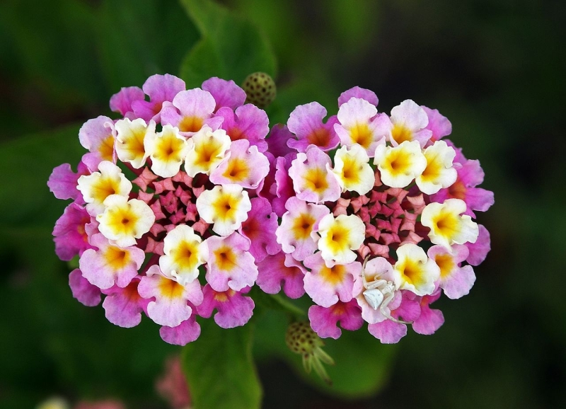 Original source: https://upload.wikimedia.org/wikipedia/commons/thumb/7/71/Twin_lantana_camara_edit.jpg/1280px-Twin_lantana_camara_edit.jpg