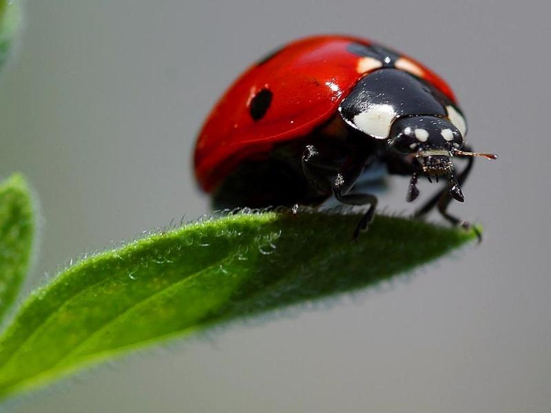 Original source: https://upload.wikimedia.org/wikipedia/commons/3/34/Ladybugs_macro_insects.jpg