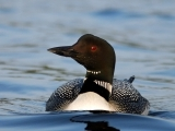 What Have Loons Told Us? 35 Years of Maine Audubon's Loon Count