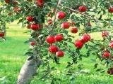 Apple Fruit Tree Pruning - Fall 2018
