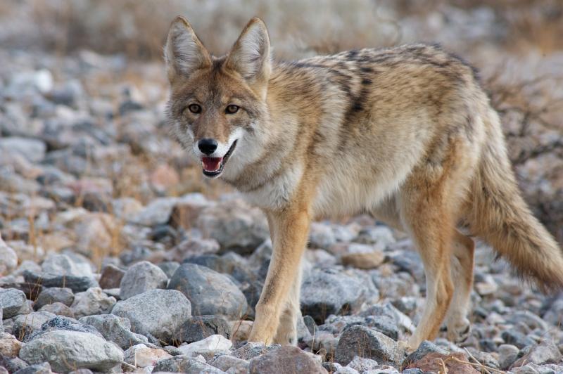 Original source: http://danthompsongamecalls.com/wp-content/uploads/2014/10/bigstock-coyote-strolling-41057017.jpg