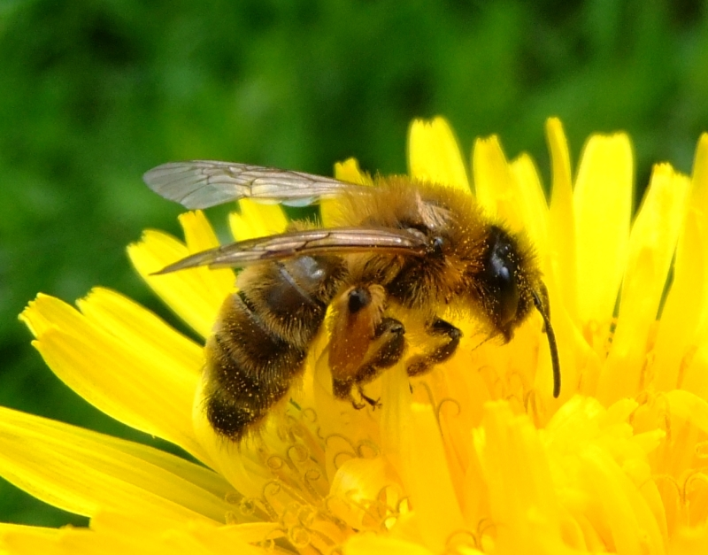 Original source: https://upload.wikimedia.org/wikipedia/commons/7/7a/Honey_bee_on_a_dandelion%2C_Sandy%2C_Bedfordshire_%287002893894%29.jpg